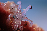 Underwater close up of a baby octopus
