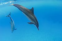 Hawaiian spinner dolphins (Stenella longirostris), Honomalino Bay, Miloli'i, Big Island