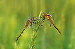 Dark Lestes dragonfly