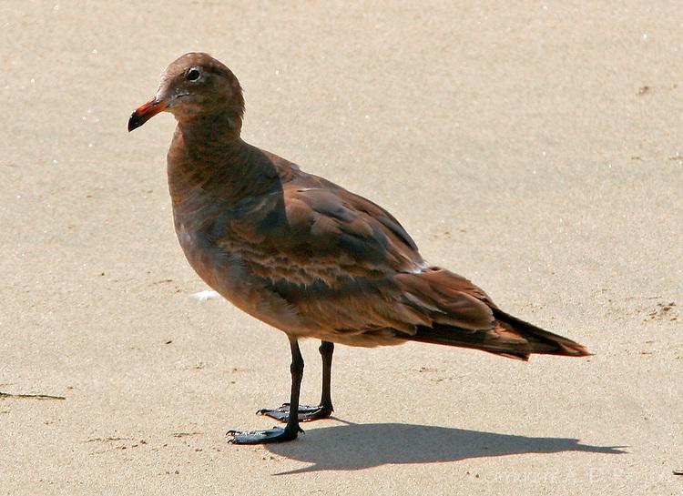 Heermann's gull second winter