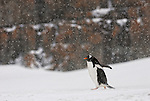 Gentoo penguin walks by with blowing snow with brown bluff in the background.