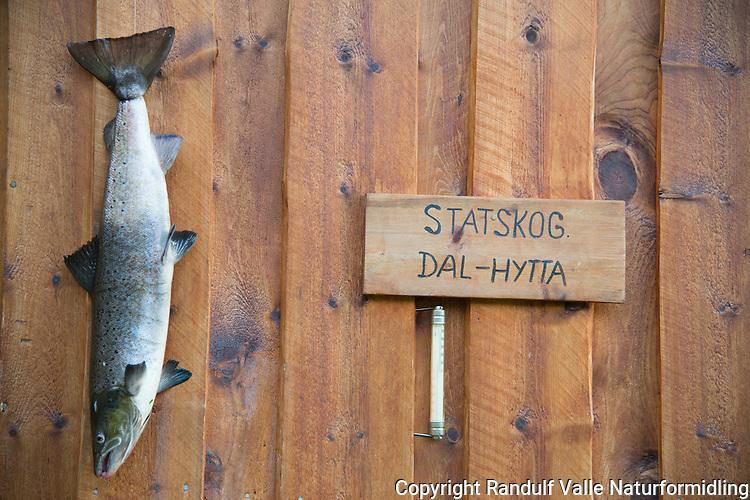 Laks på hytteveggen til Dal-hytta til Statskog i Kvænangen. ---- Salmon on hut wall.