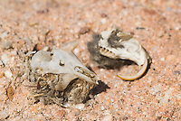 Rodent skulls in owl pellets, Red Rock Canyon State Park, California