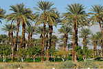 Date palms and citrus trees in the Coachella Valley