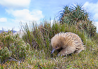 One of the highlights of the trip was spending time with this short-beaked echidna in Tasmania.  It was very busy using its long claws and sturdy snout to dig into the ground while looking for bugs to eat.