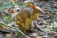 Red-legged Pademelon with joey in pouch, Daintree rainforest, Queensland, Australia