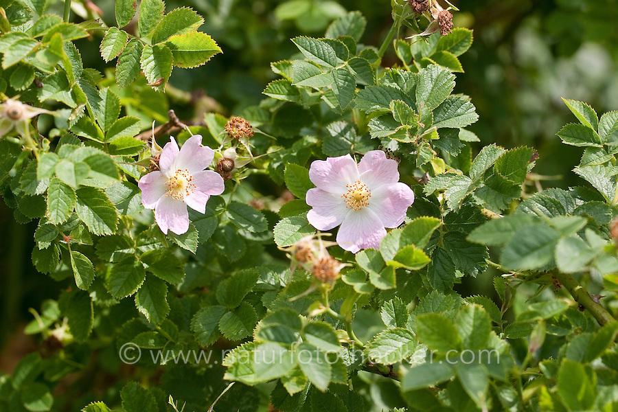 Wein-Rose, Weinrose, Schottische Zaunrose, Rose, Wildrose, Rosa rubiginosa, syn. Rosa eglanteria, Sweet briar, Eglantine Rose