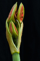 An amaryllis ([Hippeastrum] sp. cultivar) inflorescence pictured just as its flower buds are emerging from their sheath.  There are three red and green flowers easily visible.  These flowers are growing from a scape, a leafless stem that is used to support flowers.  The three emerging buds are surrounded by two spathes, bracts (modified leaves) that surround the flowers as they develop (and then stay present as the flowers bloom).  This image was taken outdoors using natural lighting on an intact plant growing in my yard; no flowers were destroyed in the making of this image :)
