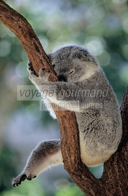 """Océanie/Australie/Queensland/Port Douglas: Koala à """"Rainforest Habitat Wildlife Sanctuary"""""""