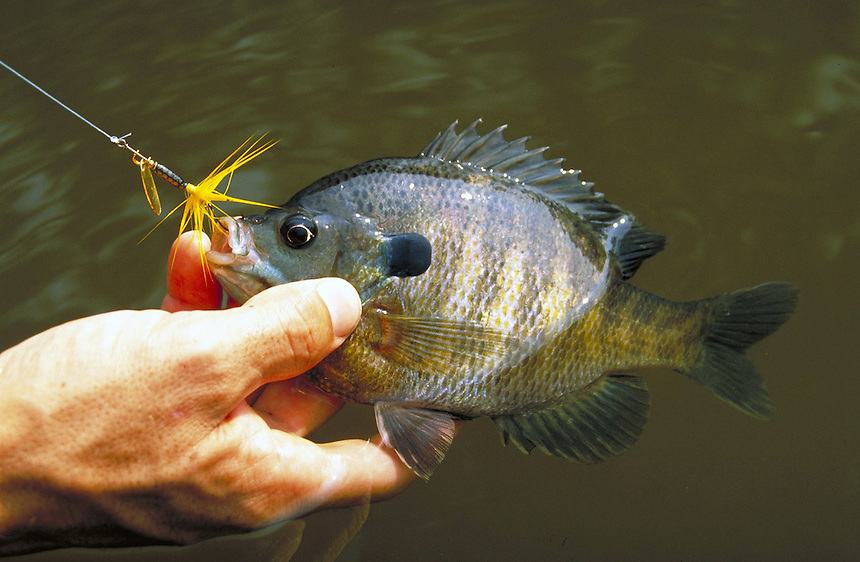 Bluegill caught on inline spinner