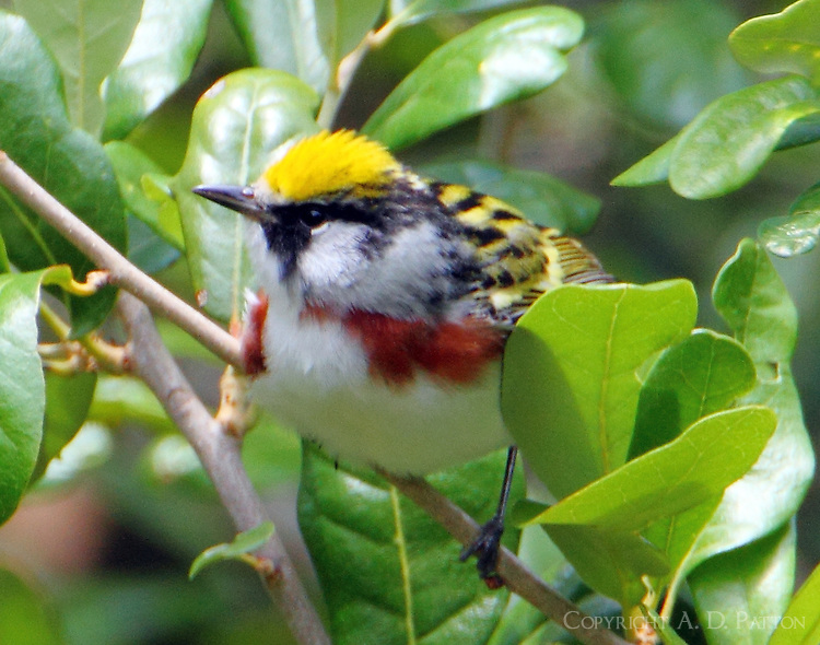 Male chestnut-sided warbler in breeding plumage