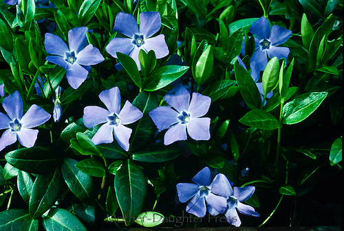 Vinca rosa, Vina minor, a low growing ground cover blooms in blues and purple