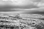 Lone Tree on Haworth Moor Haworth West Yorkshire England
