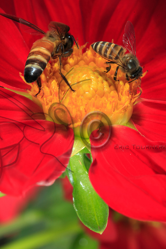 A pais dorsata and a apis cerena forage on a flower.