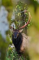 Roosevelt Elk Bull (Cervus canadensis roosevelti).  Pacific Northwest.  Fall.