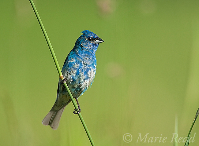 Indigo Bunting (Passerina cyanea), first year male (June) showing its patchy plumage, New York, USA