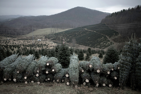 November 24, 2008. Ashe County, NC.. On one of the lots that is owned by Furches Evergreens, baled trees sit waiting for the tractor that will haul them down the hillside to the loading zone. The steep terrain that the Frazier firs love makes for difficult harvesting, with most of the cutting and hauling being down by hand until a rough road can be found.
