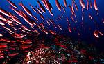 Pacific creole-fish (Paranthias colonus)