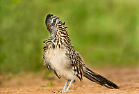 576010036 a wild greater roadrunner geococcyx califonianus in the rio grande valley texas united states