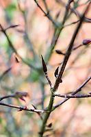 Euonymus Macropterus