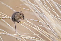 Harvest Mouse, Oregon