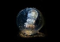 Flamboyant Cuttlefish egg, Metasepia pfefferi, Dumaguete, Philippines, Pacific Ocean