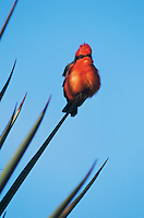 Vermillion Flycatcher, Pyrocephalus rubinus,male on Trecul Yucca (Yucca treculeana), The Inn at Chachalaca Bend, Cameron County, Rio Grande Valley, Texas, USA, December 2001