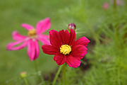 Cosmos Flowers during the summer months at  Prescott Park in Portsmouth, New Hampshire USA