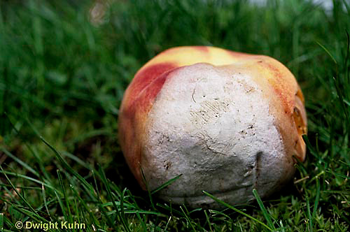 DC21-021d  Mold growing on peach - (decomposition of peach series: DC21-018e,019d,021d, 022e)