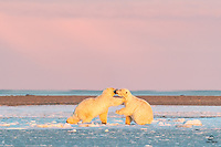 Sub-adult male Polar Bears (Ursus maritimus) sparring in the morning light.  Here the smaller bear shoves the bigger bear, to create some space between them.  Not serious fighting, but it was fun to watch them practice for the real thing.