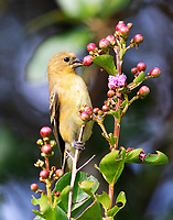 Female lesser goldfinch eating crape myrtle buds