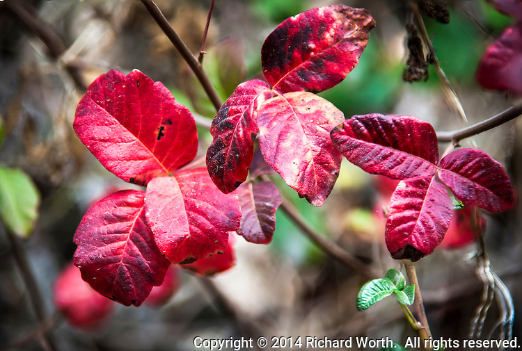 Red leaves speak of autumn along MacDonald Trail in Redwood Regional Park, Oakland, California.