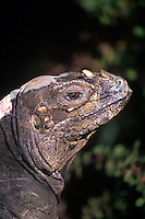 438503003 a wildlife rescue rhinocerous iguana cyclura cornuta poses on a rock at a wildlife care facility species is native to certain caribbean islands and is endangered
