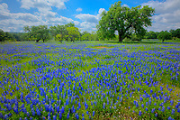 Texas bluebonnets (Lupininus texensis), Texas Hill Country, Texas