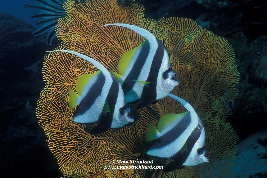 A trio of Longfin Bannerfish, Heniochus acuminatus, hover in formation in front of a fan coral. Similan Islands Marine National Park, Andaman Sea, Thailand