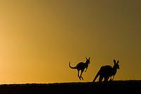 Panorama Ambiente Canguri <br /> 16-11-2016 Rally Australia <br /> Foto Lavadinho/Panoramic/Insidefoto