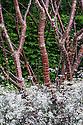 Multi-stemmed Tibetan cherry (Prunus serrula) underplanted with whiteflowered, purple-leaved cow parsley (Anthriscus 'Ravenswing'). RBC Blue Water Garden, designed by Nigel Dunnett, RHS Chelsea Flower Show 2012.