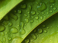A close-up of water droplets on a leaf, Hawai'i.