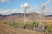 Los Genoveses Bay, with agave pita plants, in the Cabo de Gata-Nijar Natural Park, Almeria, Andalusia, Southern Spain. The bay is home to a beach named for the 200 Genoese ships who came in 1147 to help Alfonso VII win Almeria from the muslims. In 1571, the Spanish Armada fleet of 300 ships amassed here before the Battle of Lepanto. The park includes the Sierra del Cabo de Gata mountain range, volcanic rock landscapes, islands, coastline and coral reefs and has the only warm desert climate in Europe. The park was listed as a UNESCO Biosphere Reserve in 1997 and a Specially Protected Area of Mediterranean Importance in 2001. Picture by Manuel Cohen