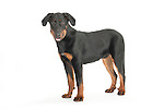 Beauceron Dog - Male, Standing, Studio, White Background