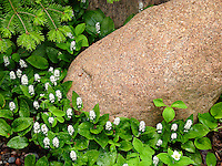 &quot;After the Rain: Wild Lily-of-the-Valley&quot;<br />