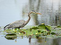March 22, 2014 - Orlando, FL, U.S: A Great Blue Heron (Ardea herodias) searches for food near the 6th green during third round golf action of the Arnold Palmer Invitational presented by Mastercard held at Arnold Palmer's Bay Hill Club & Lodge in Orlando, FL