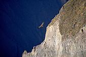 Colca Canyon, Peru. Soaring condor next to a white cliff.
