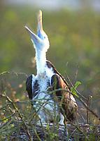 Juvenile Frigate Bird in the Galapagos Islands of Equador.