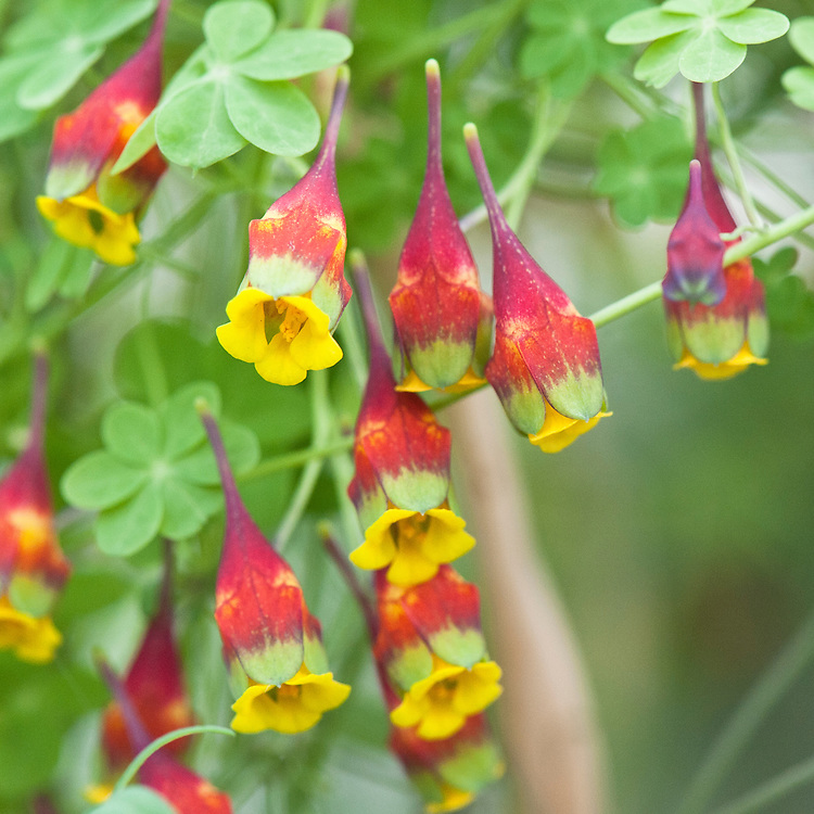 Tropaeolum brachyceras x tricolor, glasshouse, early March. From Chile.