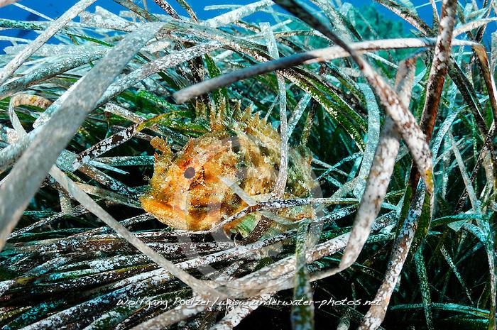 Scorpaena porcus, Brauner Drachenkopf, Kleine Meersau, Small Scorpionfish or Black Scorpion fish,  Xwejni Bay, Gozo, Malta, Sued Europa, Mittelmeer, Mare Mediterraneum, Sotuh Europe, Mediterranean Sea