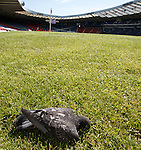 A Hampden bird witnesses Scotland training in its last moments on earth then decides to die at the corner flag.