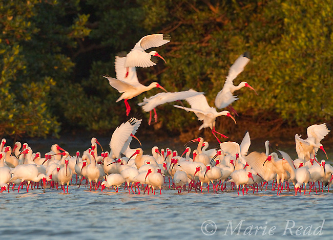 Flock of White Ibis (Eudocimus albus) in breeding plumage, gathering at water's edge of the mangrove-covered island that forms their rookery, Tampa Bay, Florida, USA