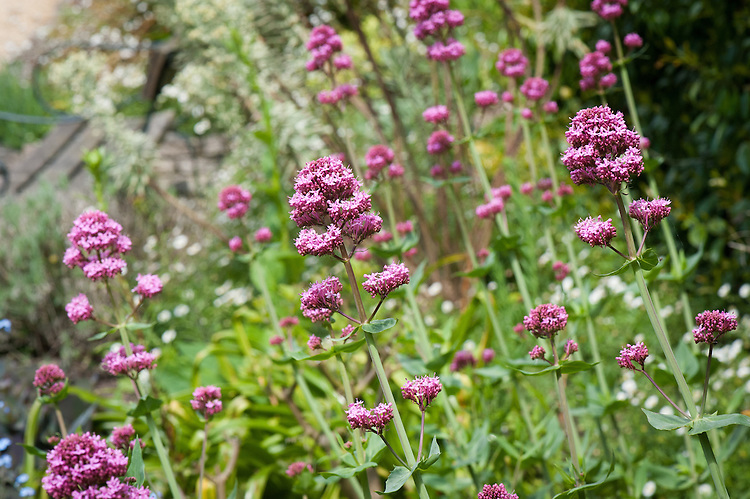 Centranthus lecoqii, late May. A valerian from the rocky, hot regions of Southern France, and the Mediterannean to the East. Mauve-pink umbels of tubular flowers held on glaucous stems, and oval to lance-like, leathery leaves.