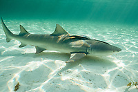 lemon shark, Negaprion brevirostris, with sharksuckers ( remoras ), Echeneis naucrates, Bimini, Bahamas, Caribbean Sea, Atlantic Ocean
